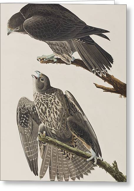 Falcon Greeting Cards - Labrador Falcon Greeting Card by John James Audubon