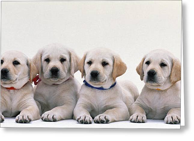 Dog Photographs Greeting Cards - Labrador Puppies Greeting Card by Panoramic Images