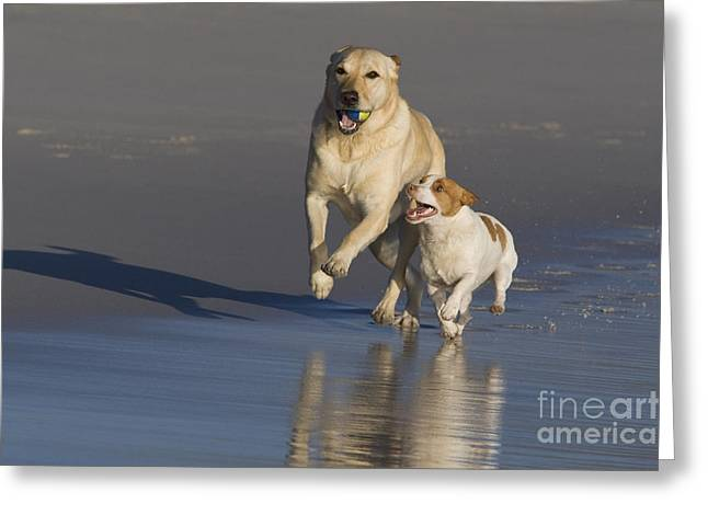 Dog At Play Greeting Cards - Labrador Retriever And Jack Russell Greeting Card by Jean-Louis Klein & Marie-Luce Hubert