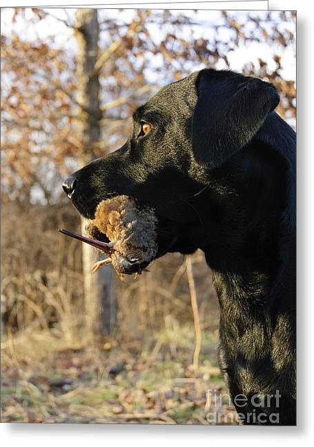 Woodcock Greeting Cards - Labrador Retriever Greeting Card by Chip Laughton