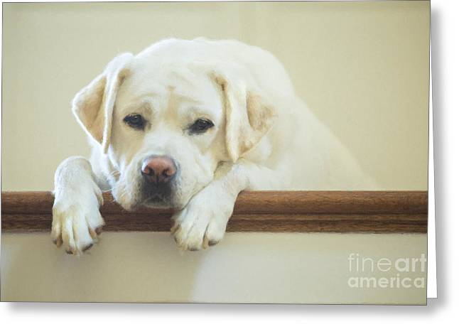 Kid Photographs Greeting Cards - Labrador Retriever on the Stairs Greeting Card by Diane Diederich