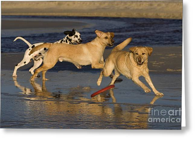 Dog At Play Greeting Cards - Labradors And Dalmatian Greeting Card by Jean-Louis Klein & Marie-Luce Hubert
