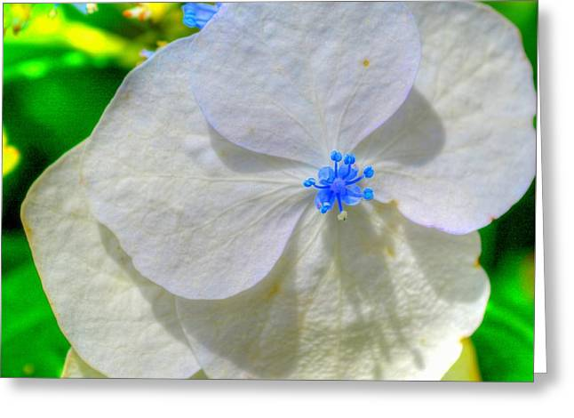 Lacecap Greeting Cards - Lacecap Hydrangea Greeting Card by Linda Covino