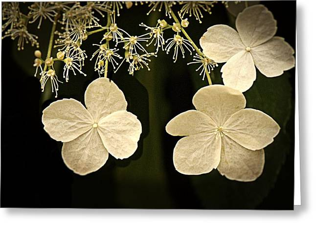 Lacecap Greeting Cards - Lacecap hydrangea Greeting Card by LuAnn Griffin