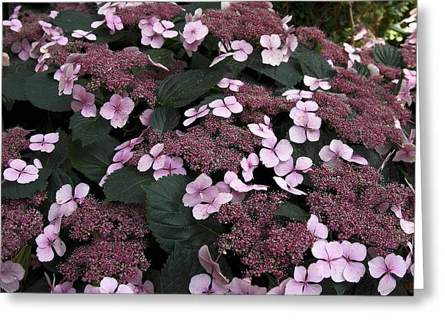 Lacecap Greeting Cards - Lacecap Hydrangeas Greeting Card by Sally Weigand