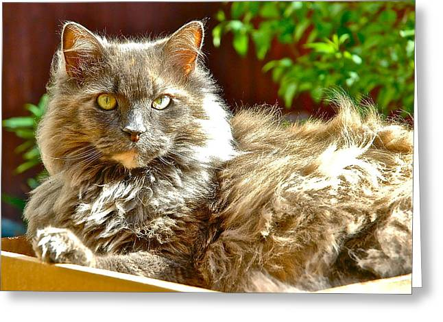 Gray Hair Greeting Cards - Lacey the Cat Greeting Card by Danielle Sigmon