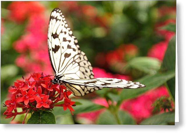 Red Geraniums Greeting Cards - Lacy Butterfly Greeting Card by Dominic Kirkpatrick