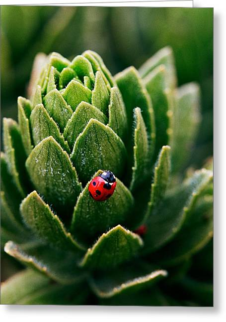 Close Focus Nature Scene Greeting Cards - Lady Bug - Detailed image of a red with black spots Lady Bug Greeting Card by Nature  Photographer