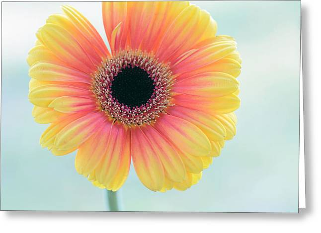 Lady Gerbera Greeting Card by SK Pfphotography