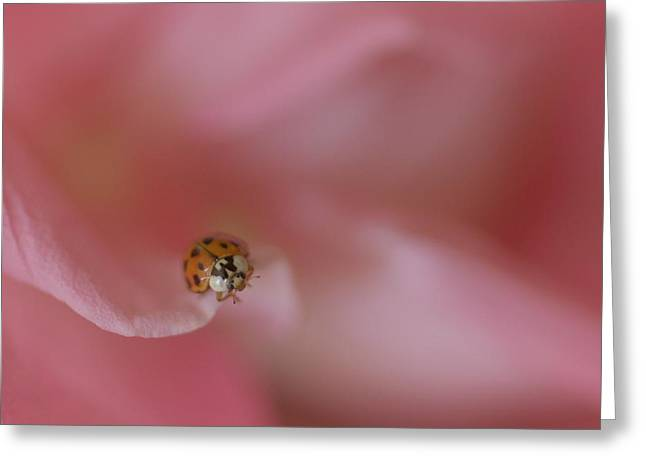 Ladybugs Greeting Cards - Lady on a Rose Greeting Card by  The Art Of Marilyn Ridoutt-Greene