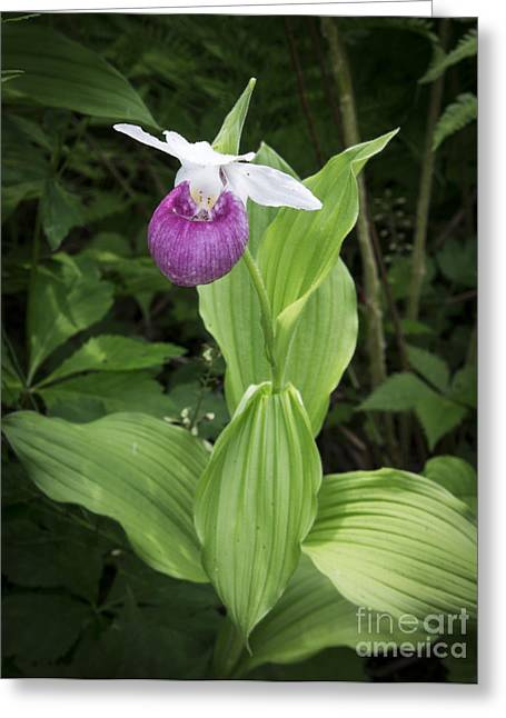 Lady Slipper Flower Greeting Card by Edward Fielding