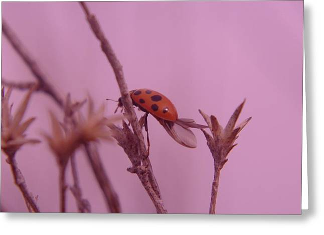 Flying Insect Greeting Cards - Ladybug Climbing A Stem   Greeting Card by Jeff  Swan