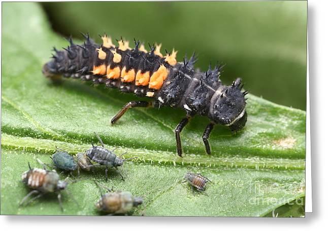 Ladybug Larva And Aphids Greeting Card by Matthias Lenke