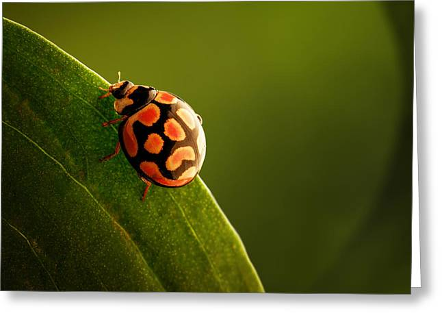 Sat Photographs Greeting Cards - Ladybug  on green leaf Greeting Card by Johan Swanepoel