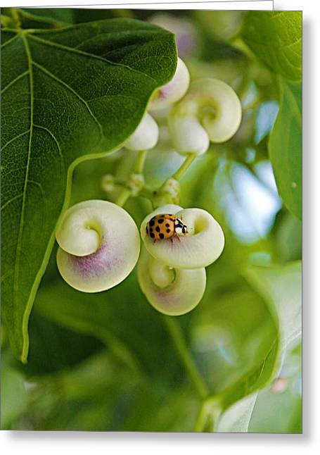 Ladybug On Snail Flower Greeting Card by Vicki Dreher