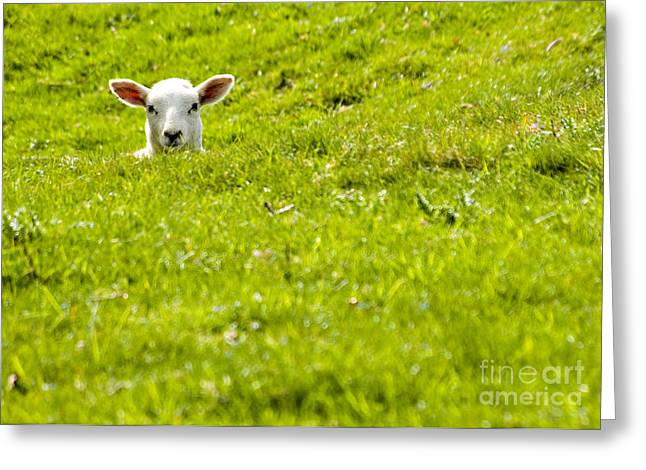 Lambs Greeting Cards - Lamb In A Dip Greeting Card by Meirion Matthias