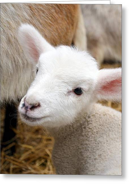 Critter Greeting Cards - Lamb Greeting Card by Michelle Calkins