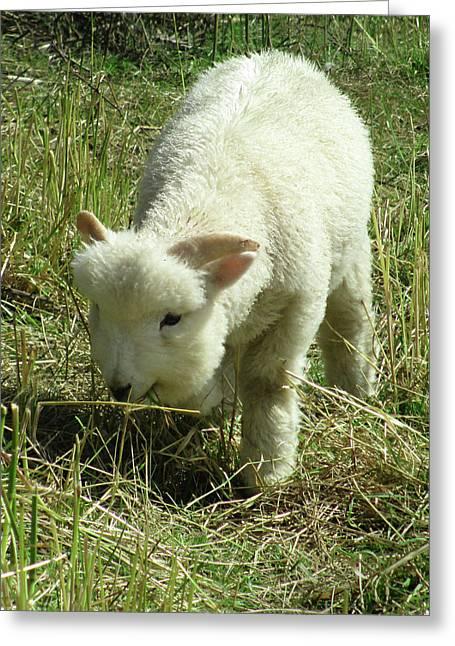 Lamb Greeting Card by The Rambler