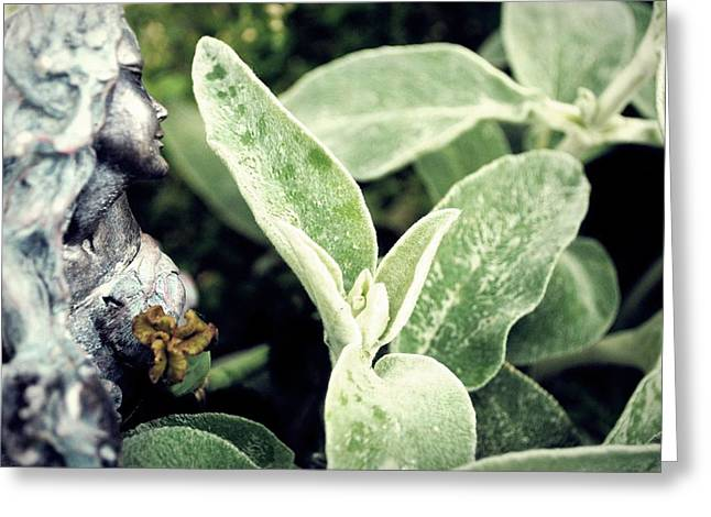 Wisconsin Greeting Cards - Lambs Ear Stachys byzantina Greeting Card by Laura Pineda