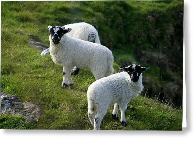 Nature Greeting Cards - Lambs In Farm Landscape Greeting Card by Aidan Moran