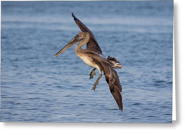Landing - Florida Brown Pelican Greeting Card by Kim Hojnacki