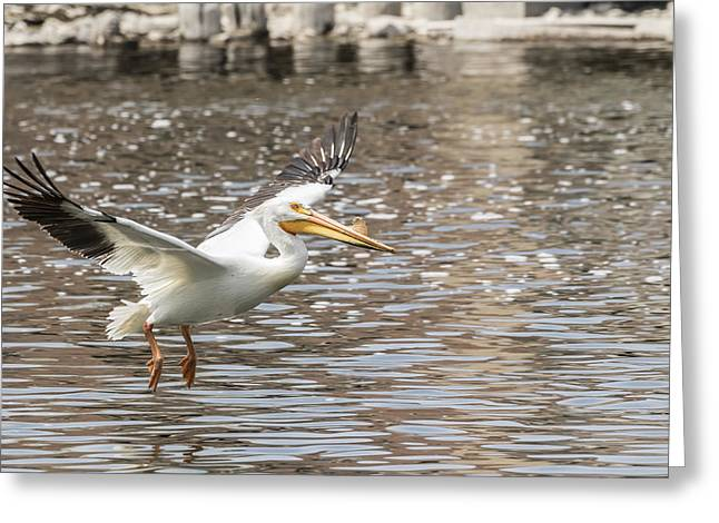 Flying White Pelicans Greeting Cards - Landing Gear Down Greeting Card by Thomas Young