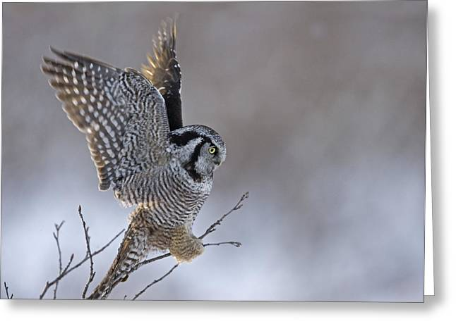Gram Greeting Cards - Landing Hawk Owl Greeting Card by Tim Grams