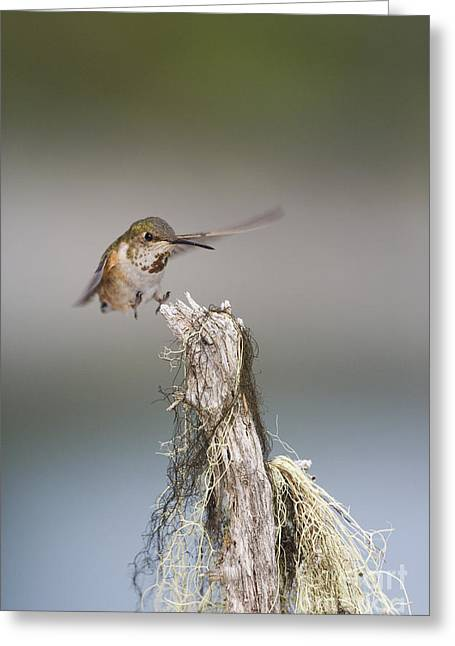 Rufus Greeting Cards - Landing Hummer Greeting Card by Tim Grams