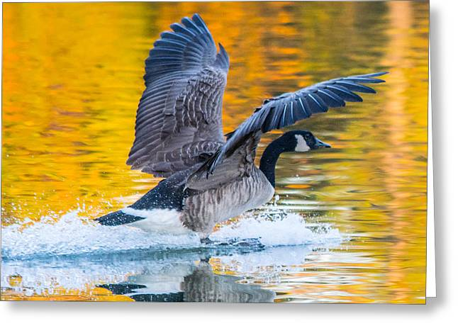 Landing In Fall Colors Greeting Card by Parker Cunningham