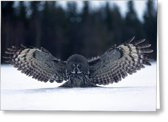 Owl Photographs Greeting Cards - Landing In The Snow Greeting Card by Kique Ruiz