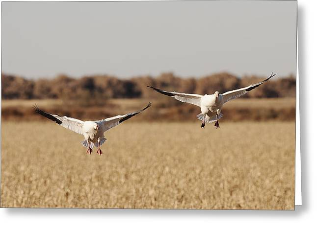 Hunting Bird Greeting Cards - Landing Snow Geese Greeting Card by Harold Stinnette