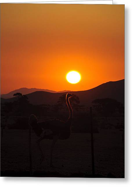 Landscapes - Ostrich Sundown Greeting Card by Andy-Kim Moeller