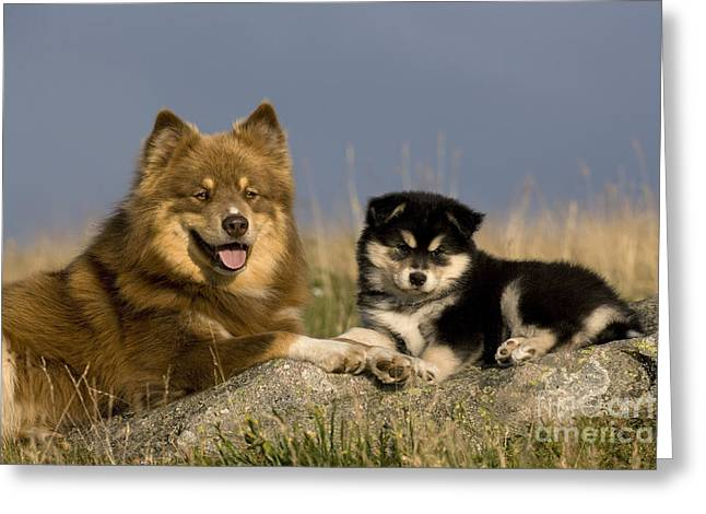Watchdog Greeting Cards - Lapinkoira Dog And His Pup Greeting Card by Jean-Louis Klein & Marie-Luce Hubert