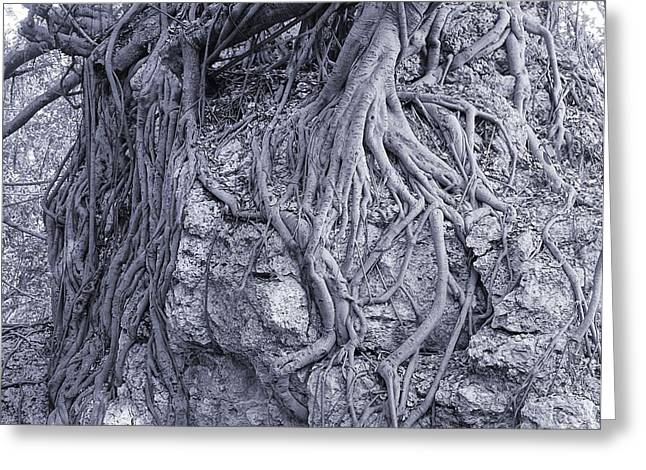 Tree Roots Greeting Cards - Large Banyan Tree Clings to a Rock Greeting Card by Yali Shi