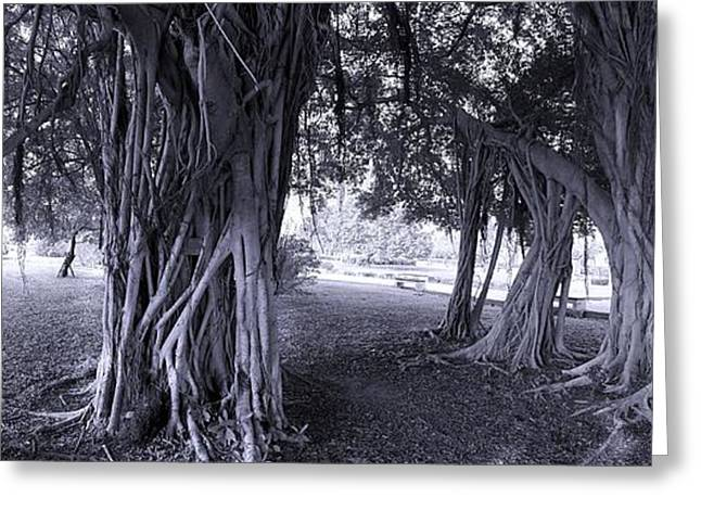 Tree Roots Photographs Greeting Cards - Large Banyan Trees in a Park Greeting Card by Yali Shi