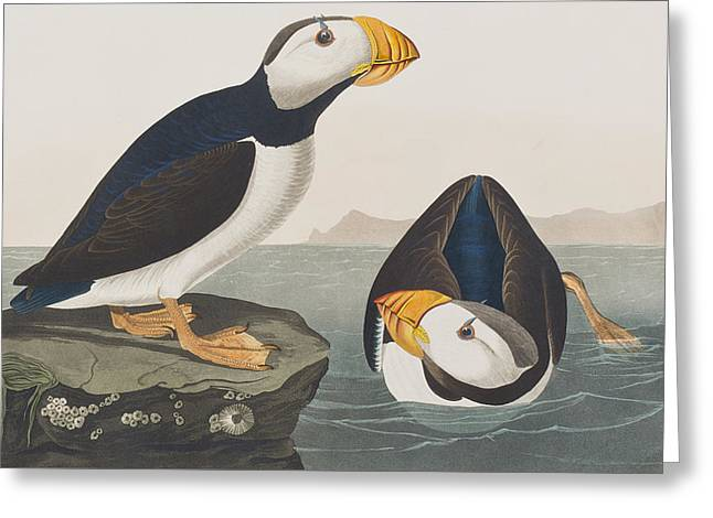 Puffins Greeting Cards - Large Billed Puffin Greeting Card by John James Audubon