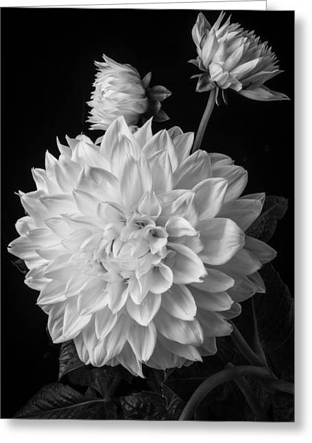 White Photographs Greeting Cards - Large Dahlia In Black and White Greeting Card by Garry Gay