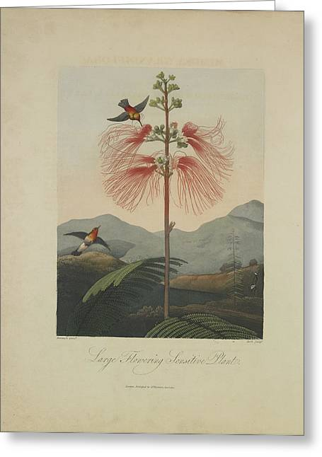 Pudica Greeting Cards - Large Flowering Sensitive Plant Greeting Card by Robert John Thornton