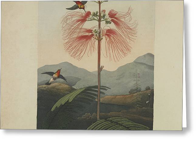 Large Flowering Sensitive Plant Greeting Card by Robert John Thornton