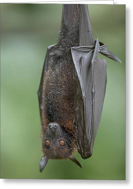 Critically Endangered Species Greeting Cards - Large Flying Fox Pteropus Vampyrus Greeting Card by Cyril Ruoso