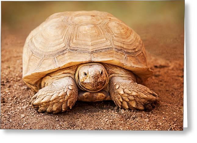 Large Galapagos Tortoise Looking Forward Greeting Card by Susan Schmitz