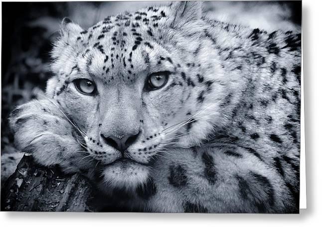 Large Snow Leopard Portrait Greeting Card by Chris Boulton