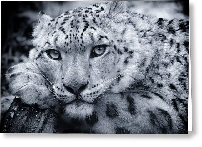 Duo Tone Greeting Cards - Large Snow Leopard Portrait Greeting Card by Chris Boulton