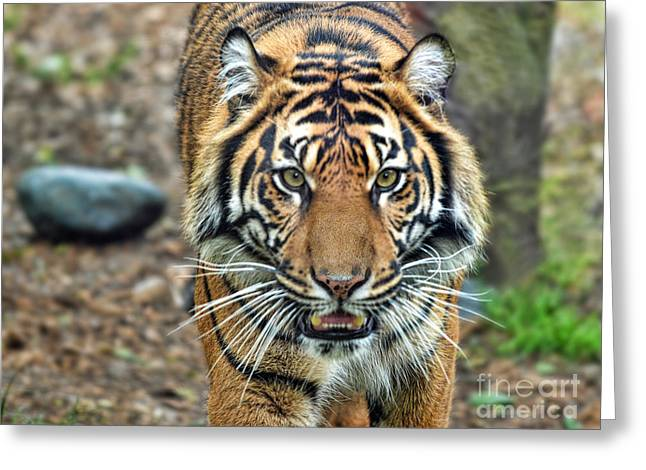 Growling Greeting Cards - Large Tiger Approaching Greeting Card by Jim Fitzpatrick
