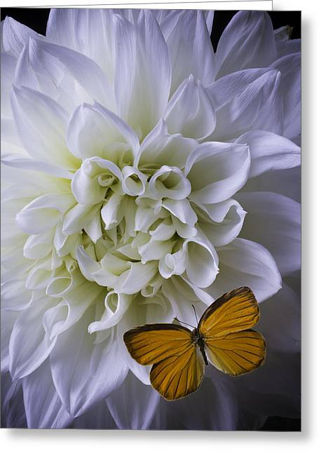 Large White Flower Close Up Greeting Cards - Large White Dahlia With Butterfly Greeting Card by Garry Gay