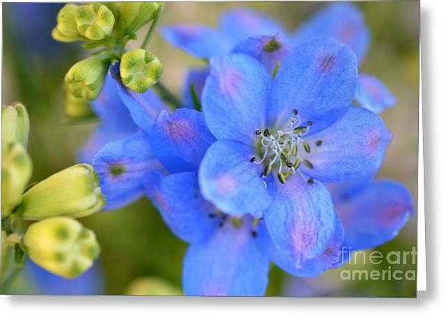 Candle Lit Greeting Cards - Larkspur Greeting Card by Deb Halloran