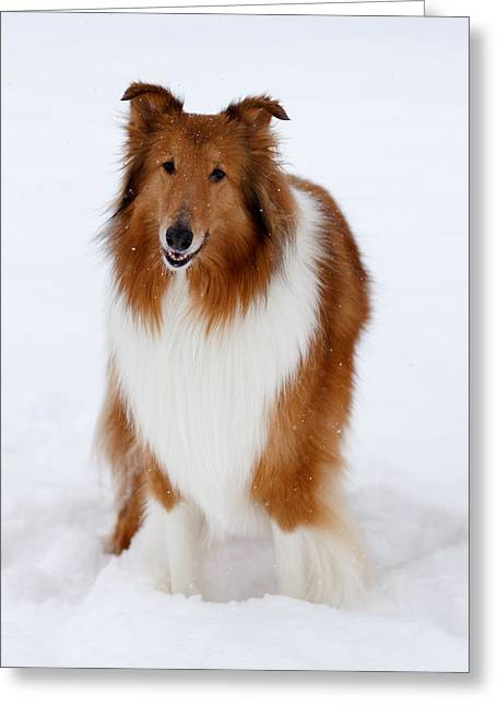 Collie Greeting Cards - Lassie Enjoying the Snow Greeting Card by Shane Holsclaw