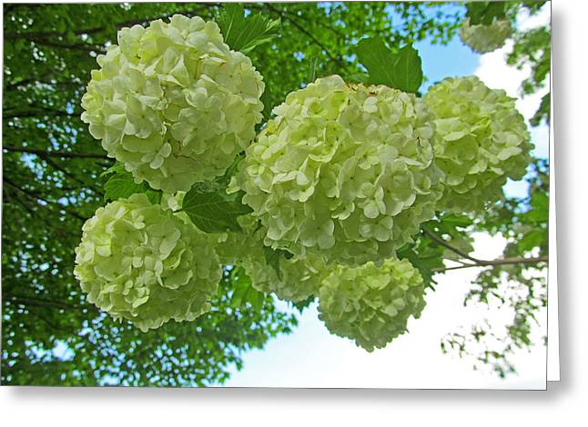 Indiana Flowers Greeting Cards - Last Hydrangeas Spring 2015 Greeting Card by Tina M Wenger