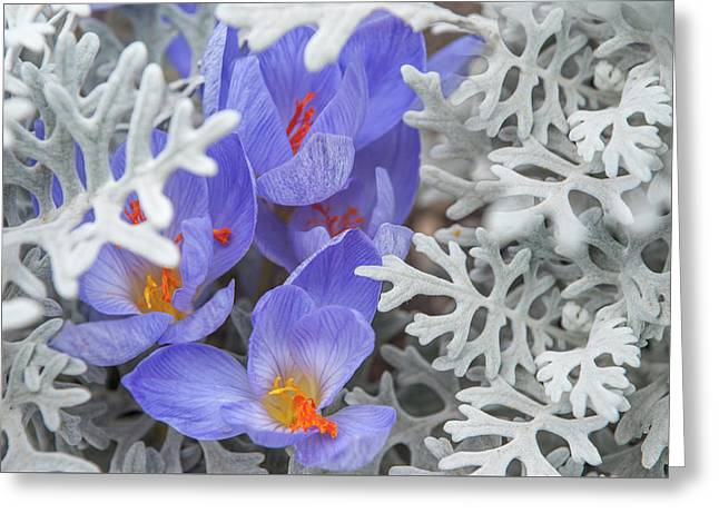 Late Autumn Crocuses With Silverdust Greeting Card by Jenny Rainbow