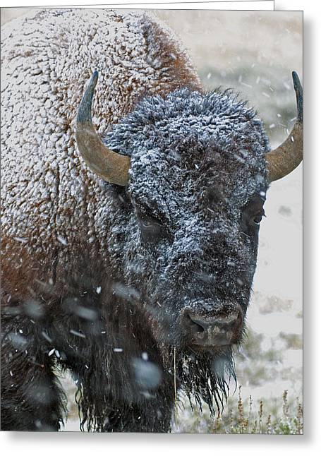 Early Spring Late Snow Buffalo Greeting Card by Gary Langley